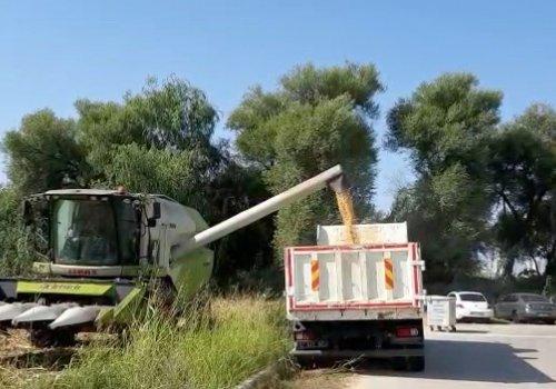 Antalya Muratpaşa ilçesinde Mısır hasadı yapıldı...