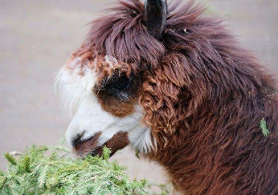 Москвичи выберут имядетенышу альпака, родившемуся на«Городской ферме»...